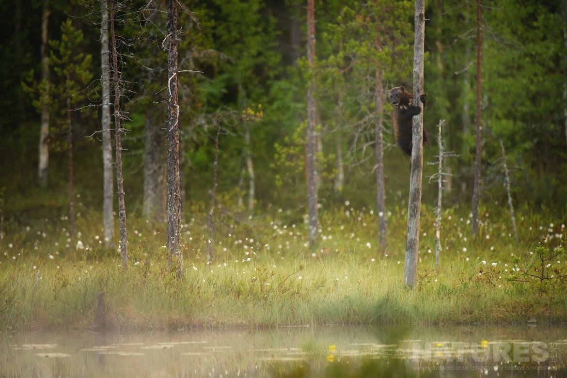A Resident Wolverine Climbing A Tree   Photographed By Johnny Södergård During The NaturesLens Wild Brown Bears Of Finland Photography Holiday