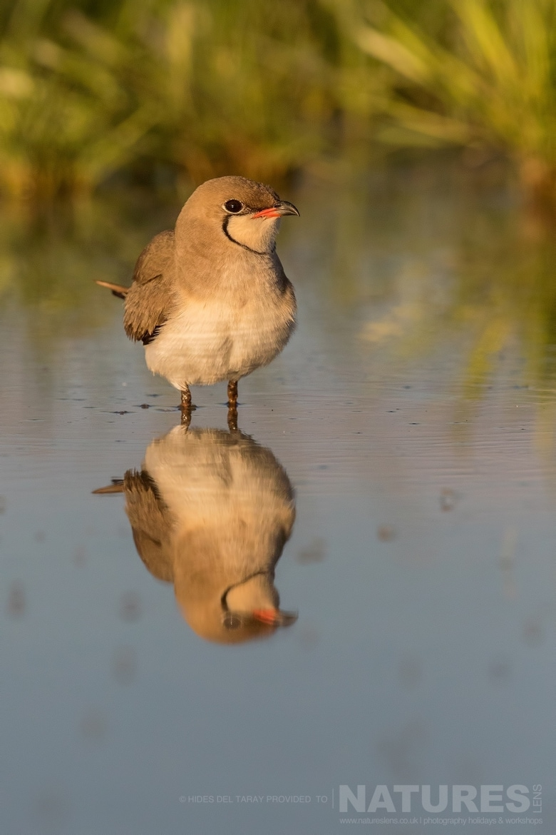 A Single Collared Pranticole Reflected In The Still Water Of A Pool Photographed On The Estate Used For The NaturesLens Spanish Birds Of Toledo Photography Holiday