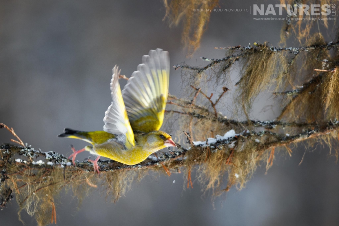 A Siskin Takes Flight From A Tree Branch   Image Captured During The NaturesLens Golden Eagles Of The Swedish Winter Photography Holiday