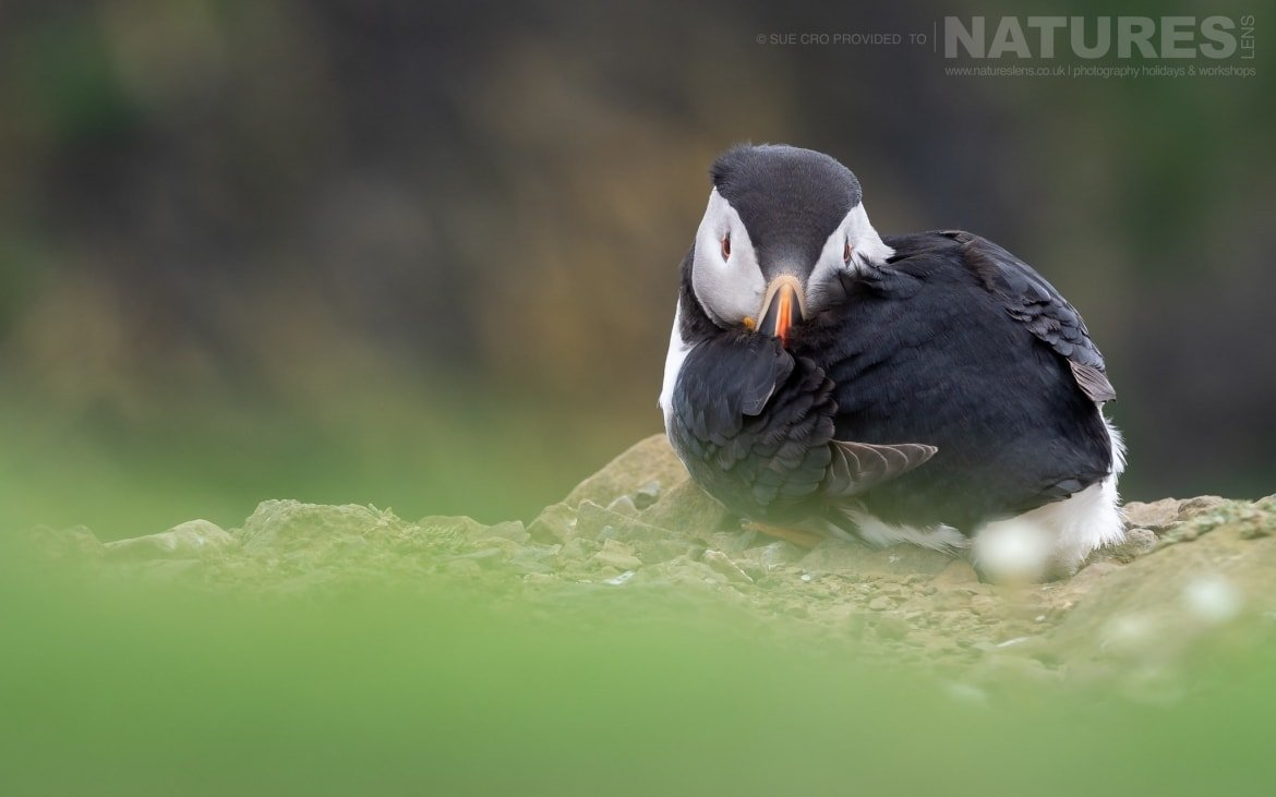A Sleeping Puffin With It's Head Tucked Amongst It's Feathers Photographed During The NaturesLens Atlantic Puffins Of Skomer Photography Holiday