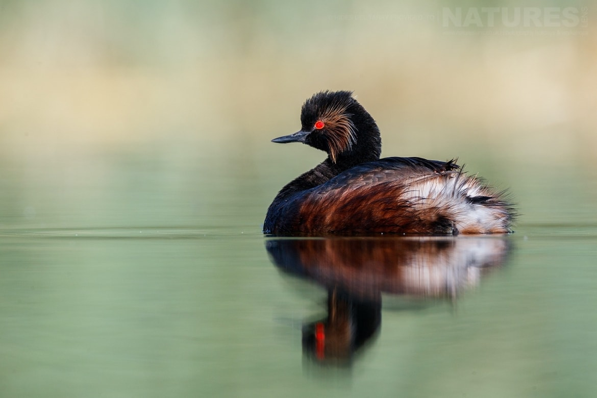 A Solitary Black Necked Grebe On The Still Waters Of Laguna Del Taray