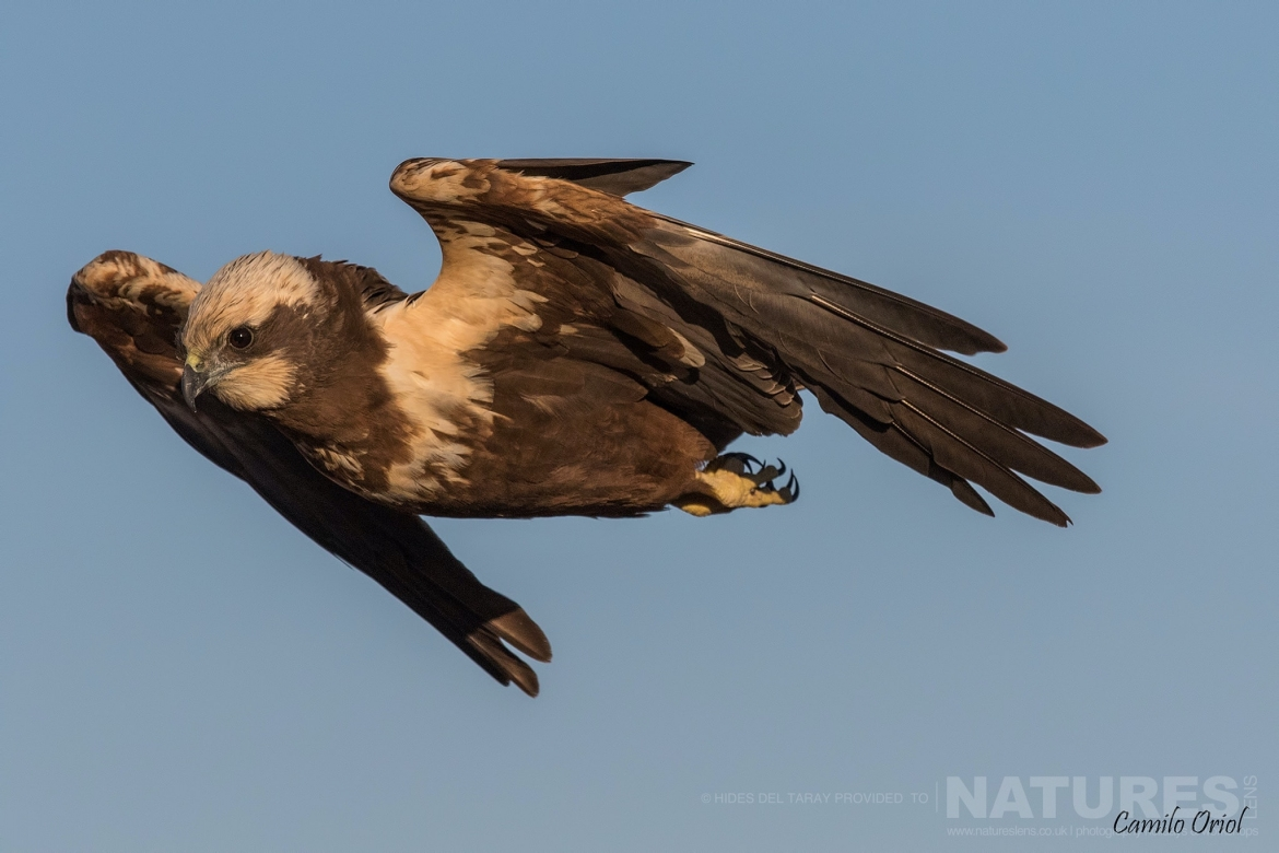 A Solitary Harrier In Flight Photographed On The Laguna Del Taray Estate Used For The NaturesLens Spanish Birds Of Toledo Photography Holiday