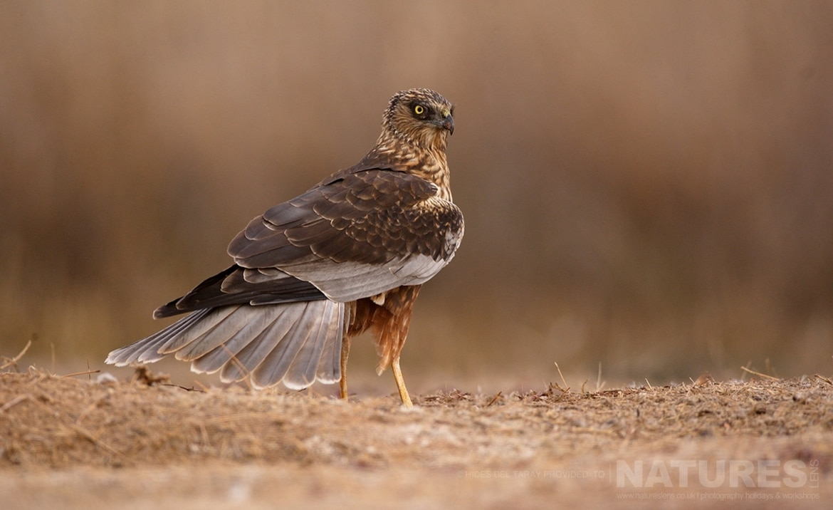 A Solitary Marsh Harrier In Front Of One Of The Hides   Photographed On The Laguna Del Taray Estate Used For The NaturesLens Spanish Birds Of Toledo Photography Holiday