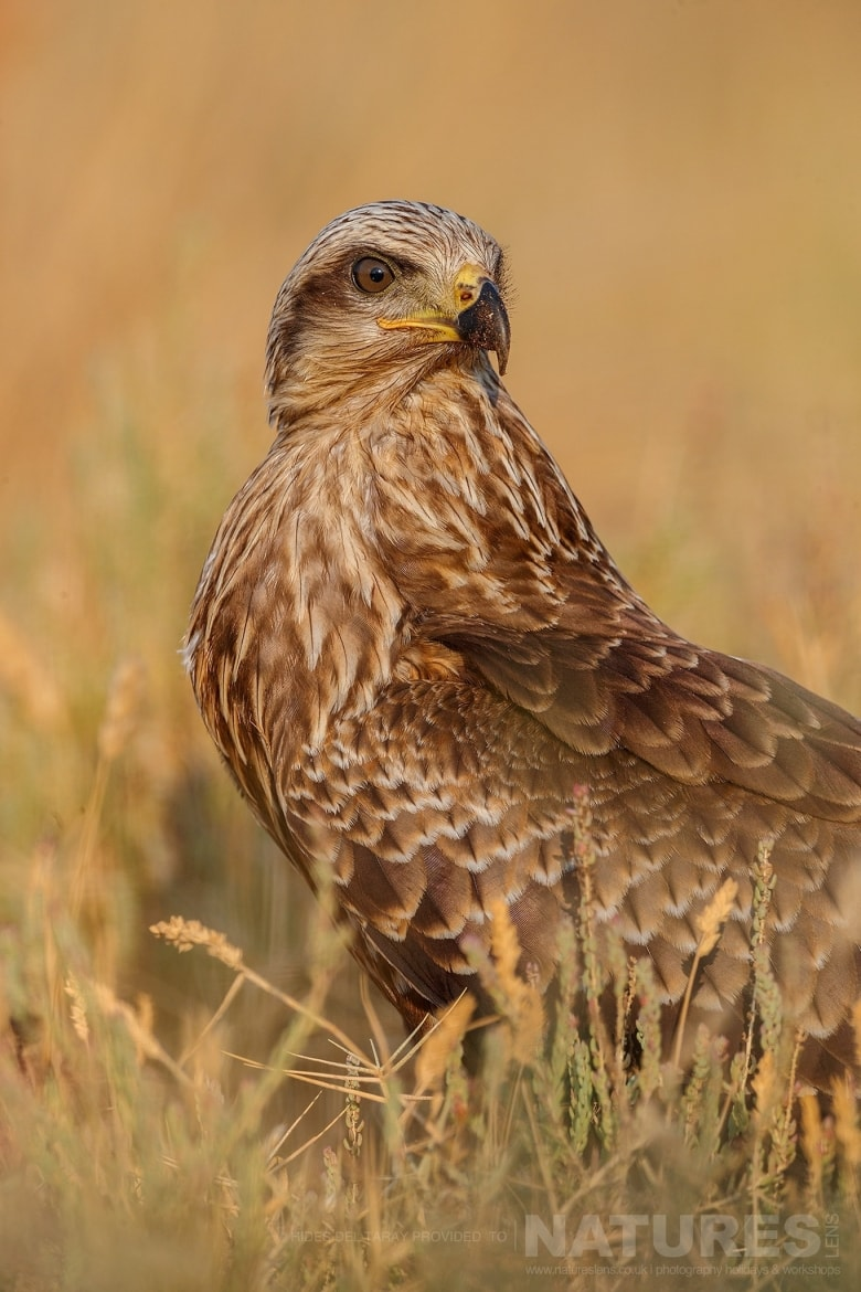 A Solitary Marsh Harrier   Photographed On The Laguna Del Taray Estate Used For The NaturesLens Spanish Birds Of Toledo Photography Holiday