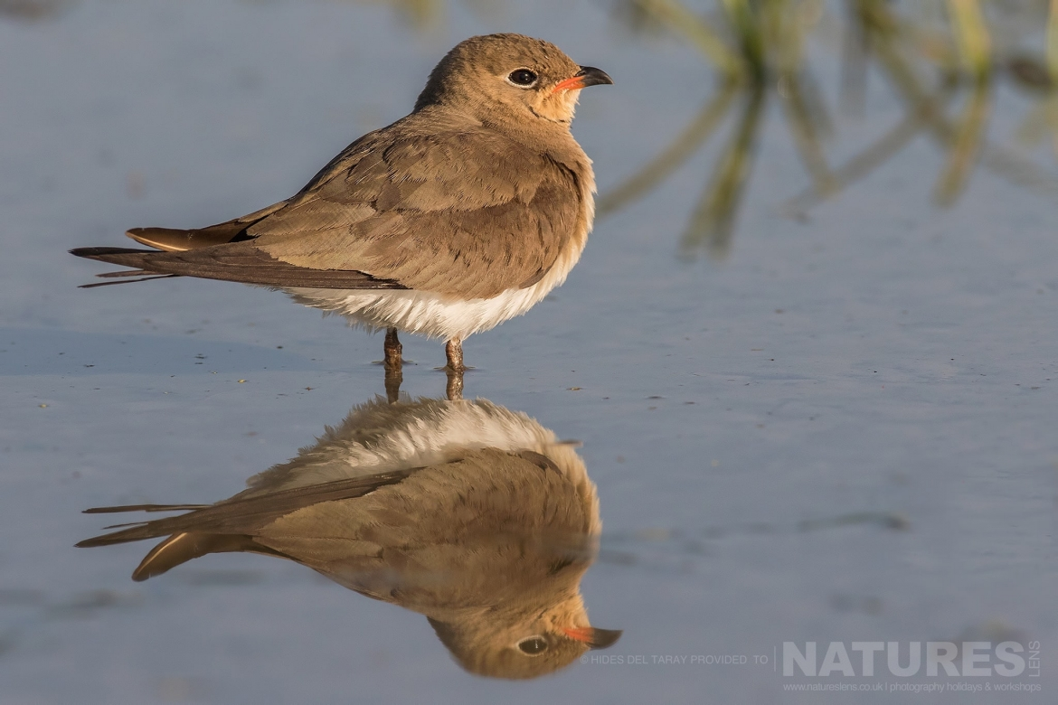 A Solitary Collared Pranticole Reflected In The Still Water Of A Pool   Photographed On The Estate Used For The NaturesLens Spanish Birds Of Toledo Photography Holiday