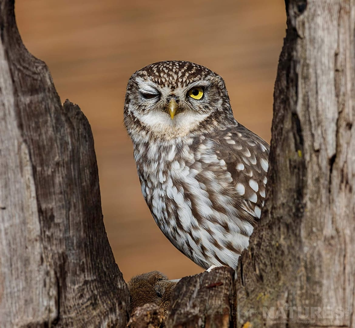 A Solitary Little Owl   Photographed On The Laguna Del Taray Estate Used For The NaturesLens Spanish Birds Of Toledo Photography Holiday
