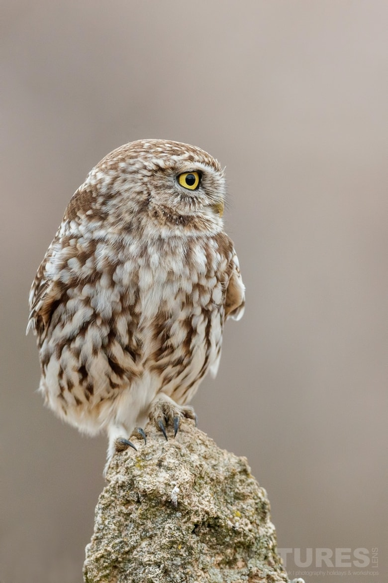 A Solitary Perched Little Owl   Photographed On The Laguna Del Taray Estate Used For The NaturesLens Spanish Birds Of Toledo Photography Holiday