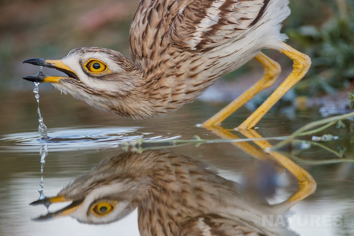 A Stone Curlew Drinks From One Of The Drinking Pools   Photographed On The Estate Used For The NaturesLens Spanish Birds Of Toledo Photography Holiday