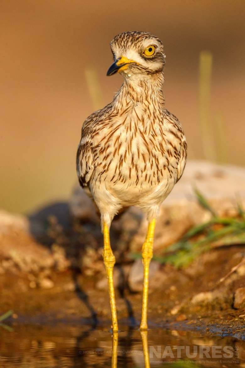 A Stone Curlew In One Of The Drinking Pools Photographed On The Estate Used For The NaturesLens Spanish Birds Of Toledo Photography Holiday