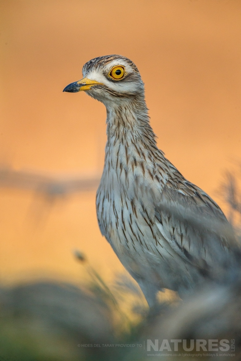 A Stone Curlew Photographed On The Estate Used For The NaturesLens Spanish Birds Of Toledo Photography Holiday