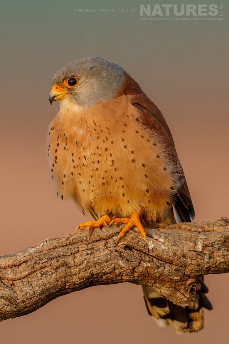 An Adult Lesser Kestrel At First Light Photographed On The Estate Used For The NaturesLens Spanish Birds Of Toledo Photography Holiday