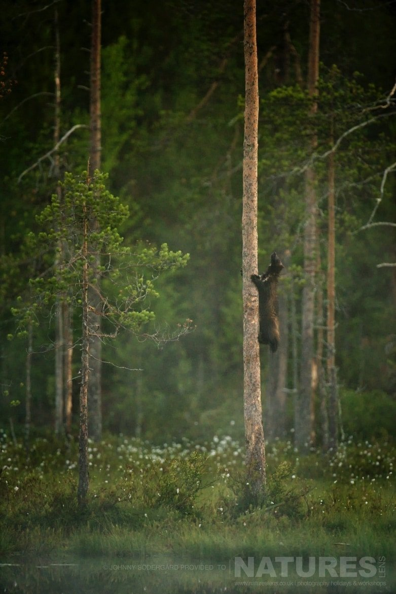 An Extremely Dextrous Wolverine Climbing A Tree   Photographed By Johnny Södergård During The NaturesLens Wild Brown Bears Of Finland Photography Holiday
