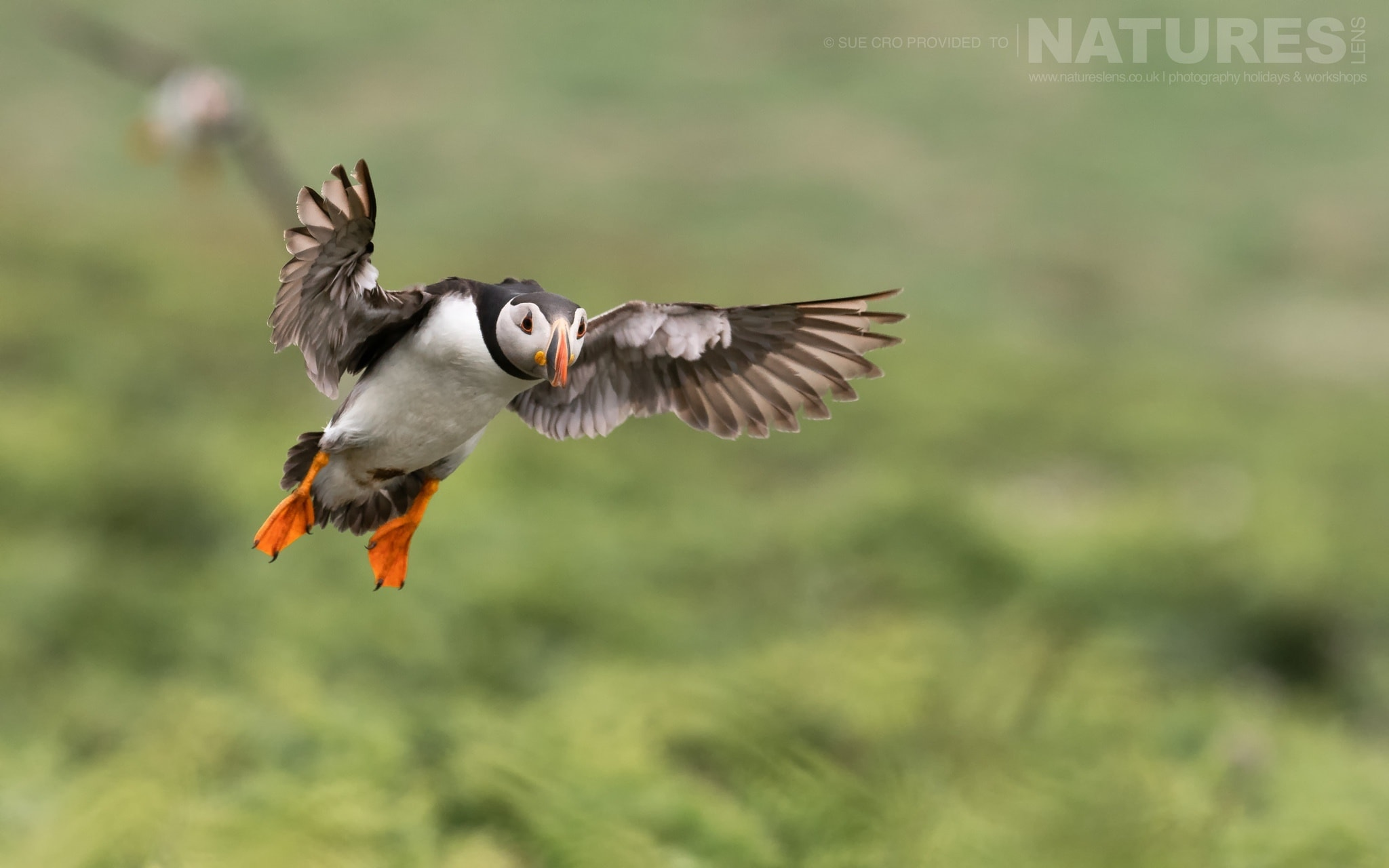 Coming In For A Landing Amongst The Sea Campion, This Puffin In Flight Makes For A Classic Skomer Image   Photographed During The NaturesLens Atlantic Puffins Of Skomer Photography Holiday