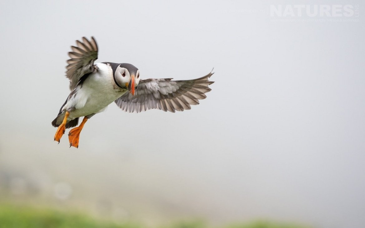 Coming In For A Landing Amongst The Sea Campion, This Puffin In Flight Makes For A Classic Puffin Image Photographed During The NaturesLens Atlantic Puffins Of Skomer Photography Holiday