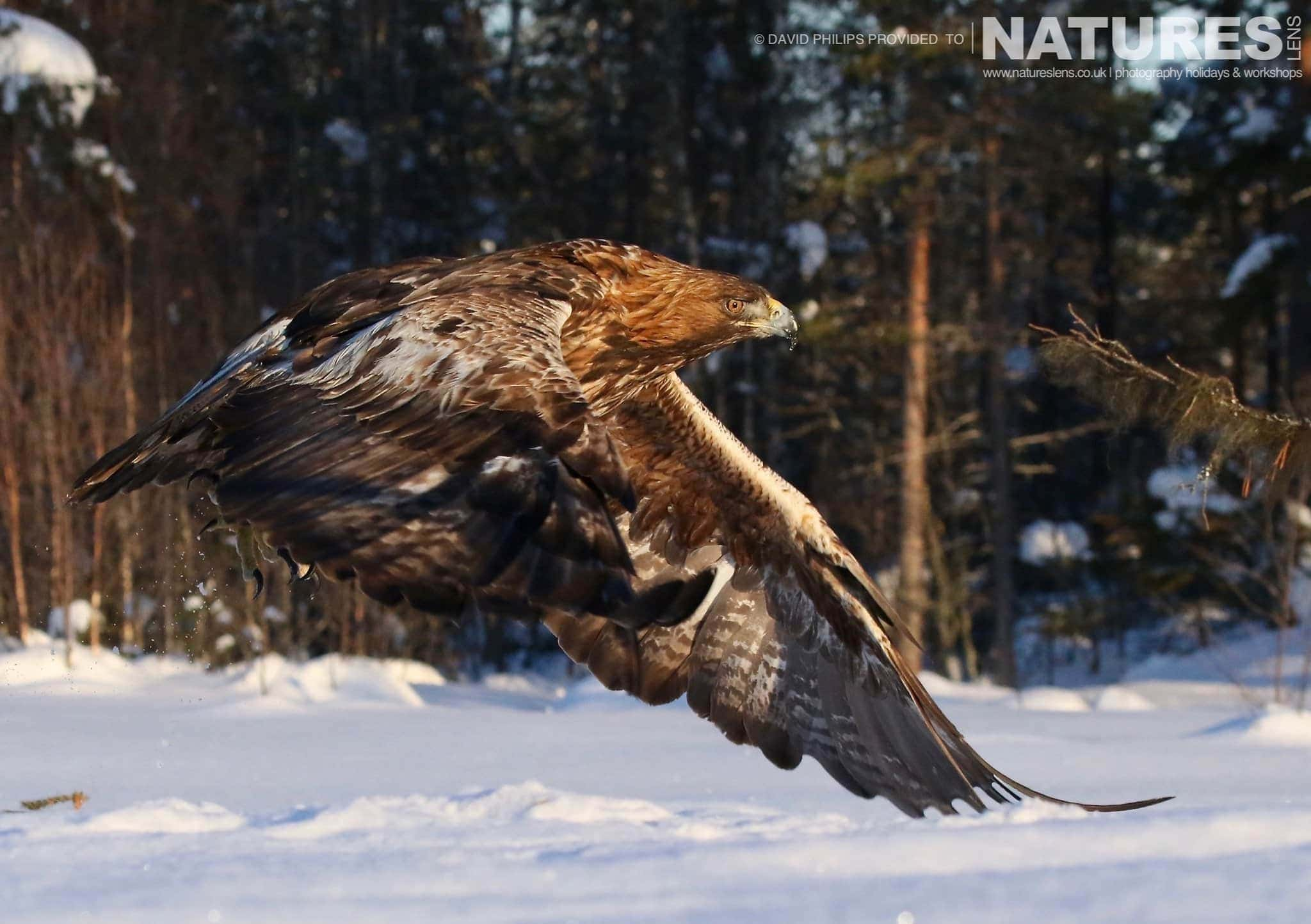 Flying In Beautiful Light, One Of The Golden Eagles Takes To The Air   Image Captured During The NaturesLens Golden Eagles Of The Swedish Winter Photography Holiday
