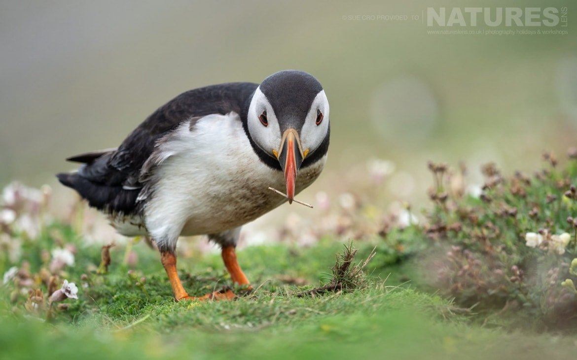 Gathering Nesting Material Amongst The Sea Campion, This Puffin Poses For A Classic Skomer Image Photographed During The NaturesLens Atlantic Puffins Of Skomer Photography Holiday