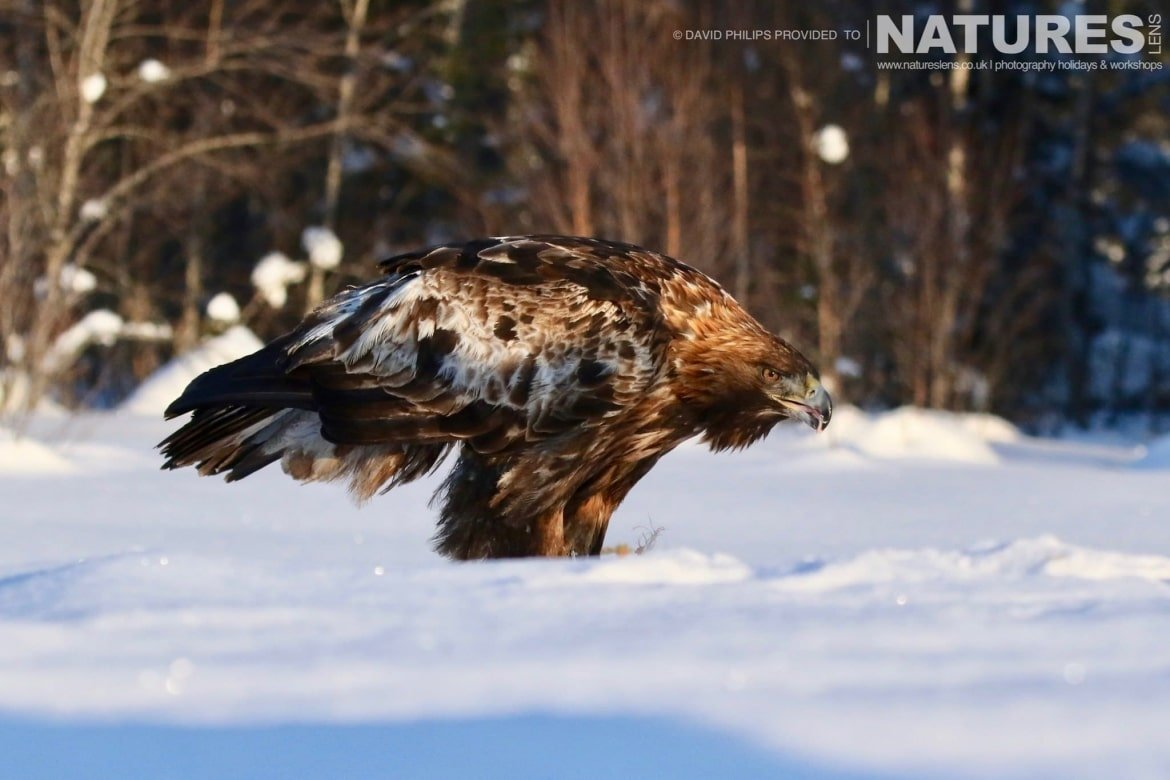 Illuminated By Beautiful Light, One Of The Golden Eagles In The Snow   Image Captured During The NaturesLens Golden Eagles Of The Swedish Winter Photography Holiday
