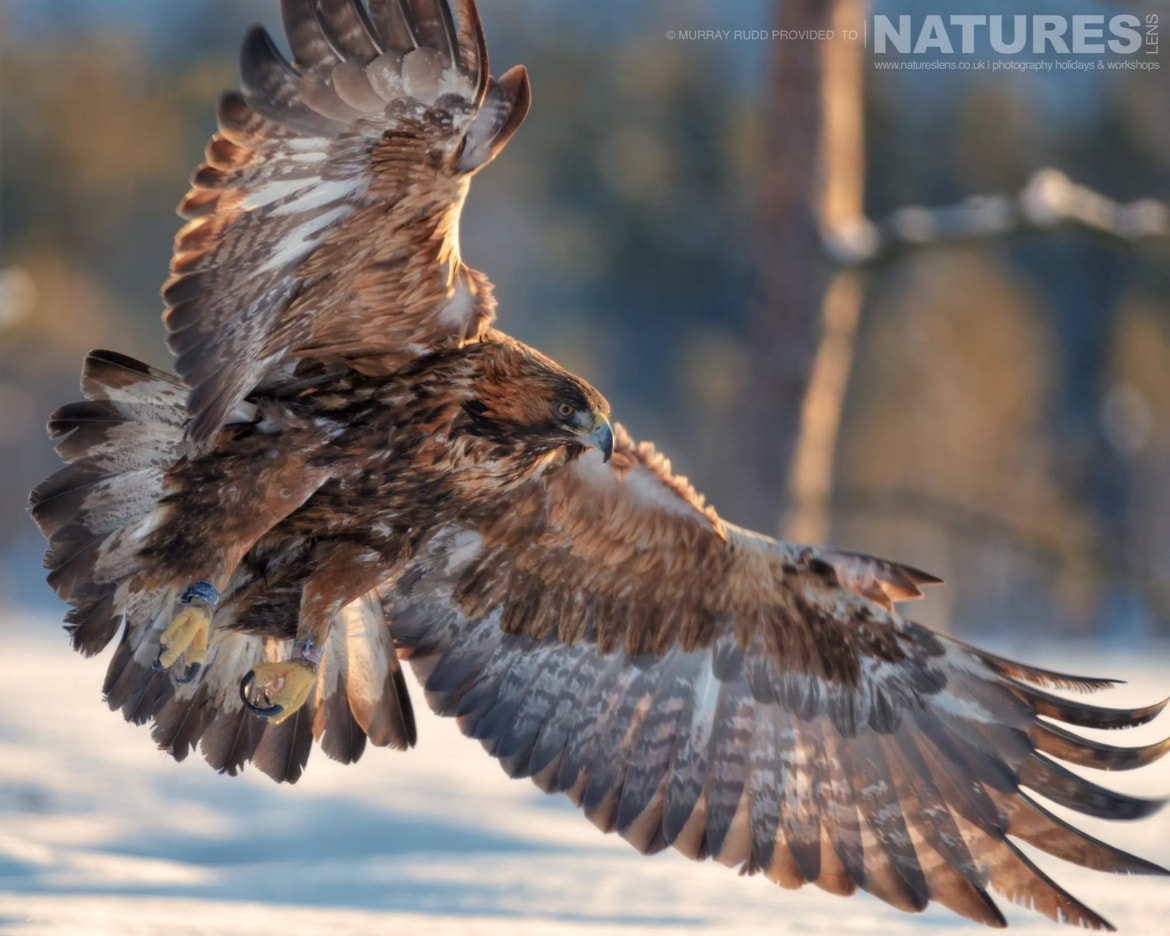 Illuminated In The Sunlight, One Of The Golden Eagles Soars Over The Snow   Image Captured During The NaturesLens Golden Eagles Of The Swedish Winter Photography Holiday