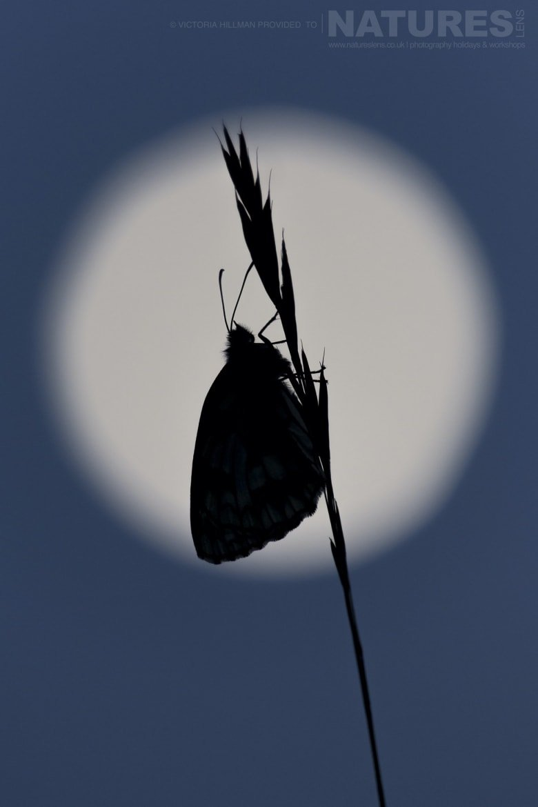 Moonlight Silhouette A Butterfly Image By Victoria Hillman