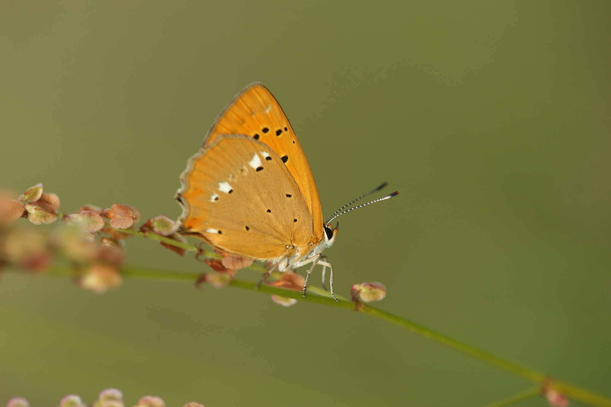 One Of The Scarce Copper Butterflies Photographed On A Photography Holiday To The Same Regions As The NaturesLens Butterflies & Macro Photography Of Bulgaria Photography Holiday