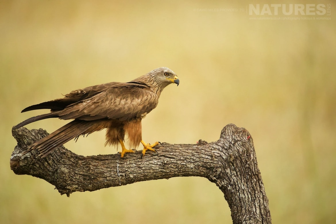 One Of Extremadura's Beautiful Black Kites Photographed On The Estate Used For The NaturesLens Eagles Of Extremadura Photography Holiday