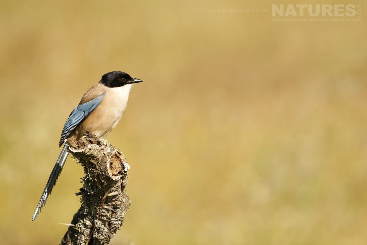One Of Extremadura's Stunning Azure Winged Magpies Photographed On The Estate Used For The NaturesLens Eagles Of Extremadura Photography Holiday
