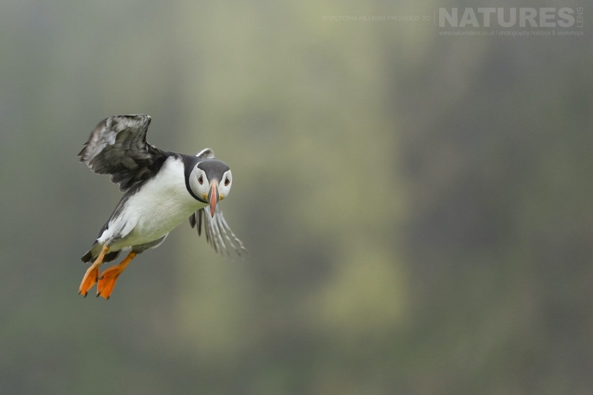 One Of Skomers Puffins Captured In Flight Photographed By Victoria Hillman