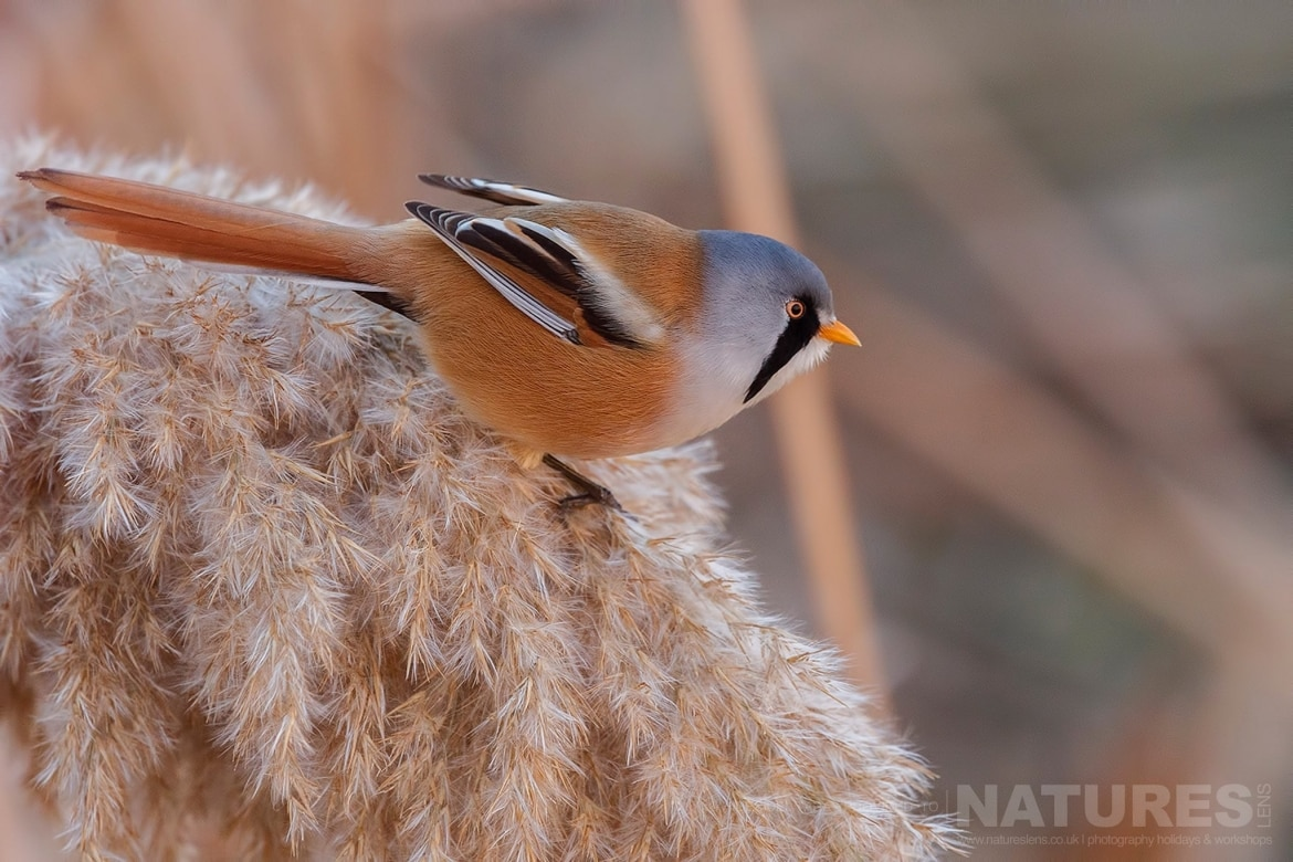 One Of Male Bearded Reedlings Perched On A Shaggy Reed   Photographed On The Estate Used For The NaturesLens Spanish Birds Of Toledo Photography Holiday