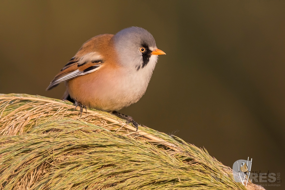 One Of Male Bearded Reedlings Perched Photographed On The Estate Used For The NaturesLens Spanish Birds Of Toledo Photography Holiday