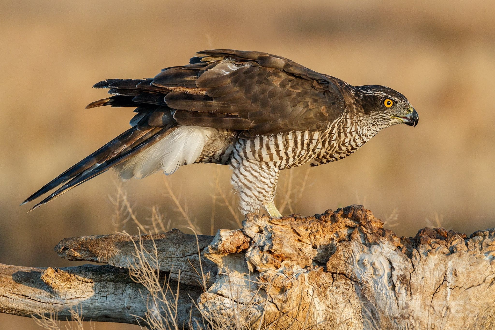 One Of Pair Of Goshawks That Are Found In The Area Photographed On The Estate Used For The NaturesLens Spanish Birds Of Toledo Photography Holiday