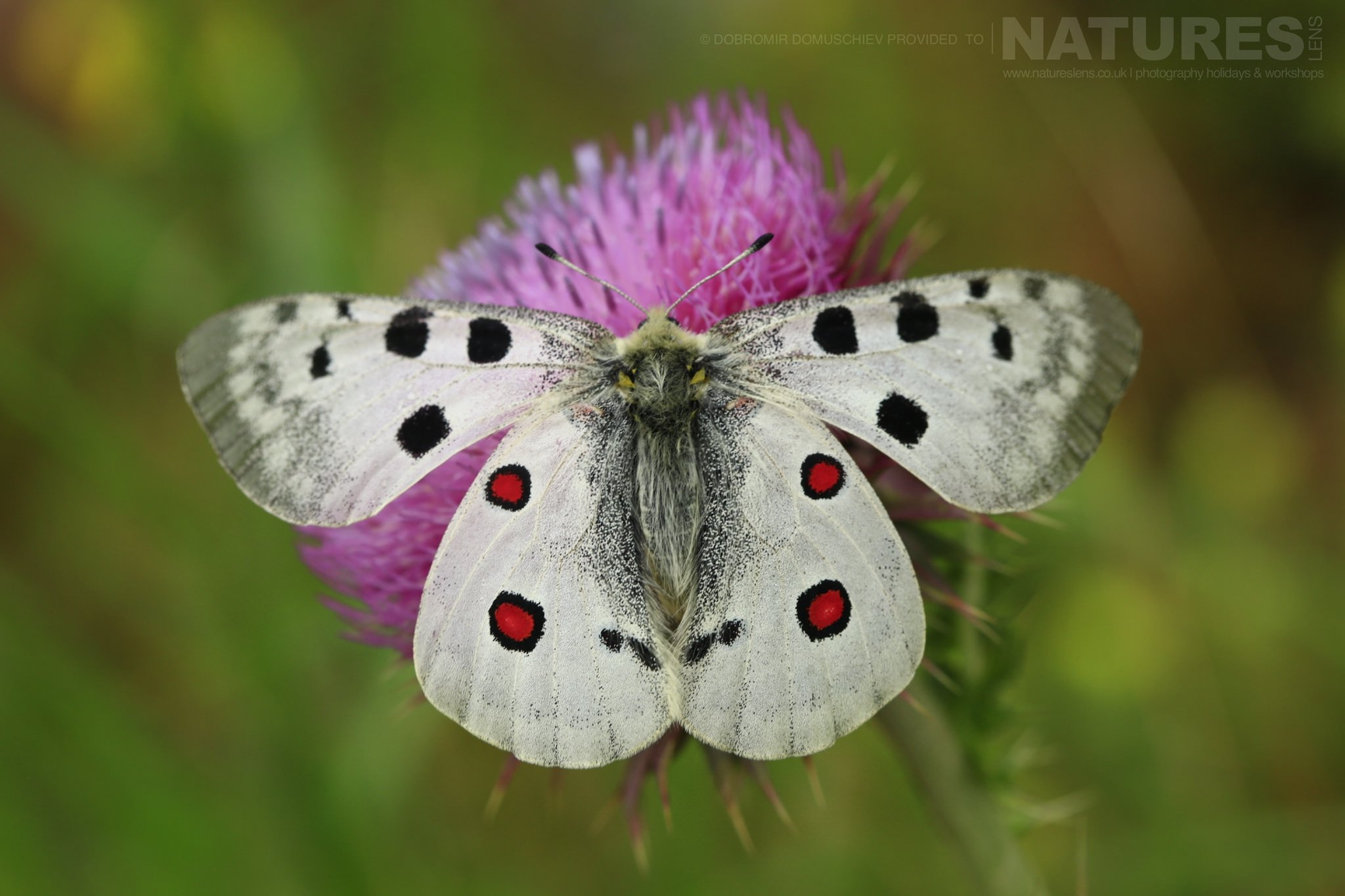 One Of The Apollo Butterflies Photographed On A Photography Holiday To The Same Regions As The NaturesLens Butterflies & Macro Photography Of Bulgaria Photography Holiday