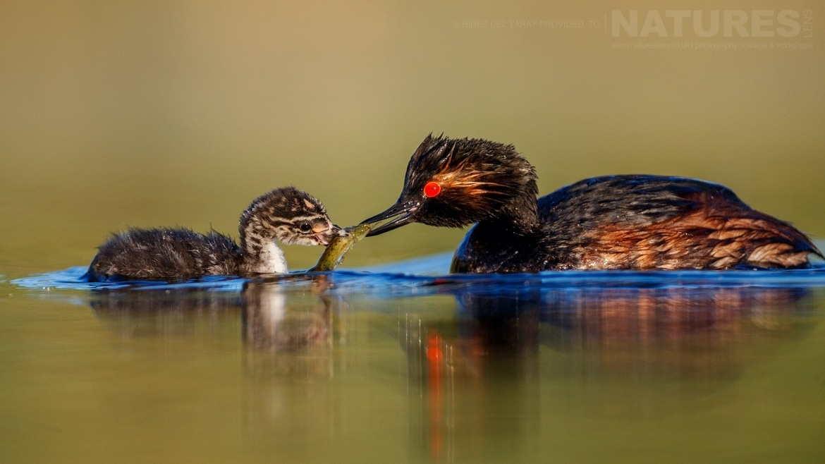 One Of The Black Necked Grebes Feeding A Chick On The Still Waters Of Laguna Del Taray