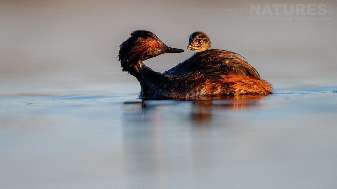 One Of The Black Necked Grebes With Chick On The Still Waters Of Laguna Del Taray