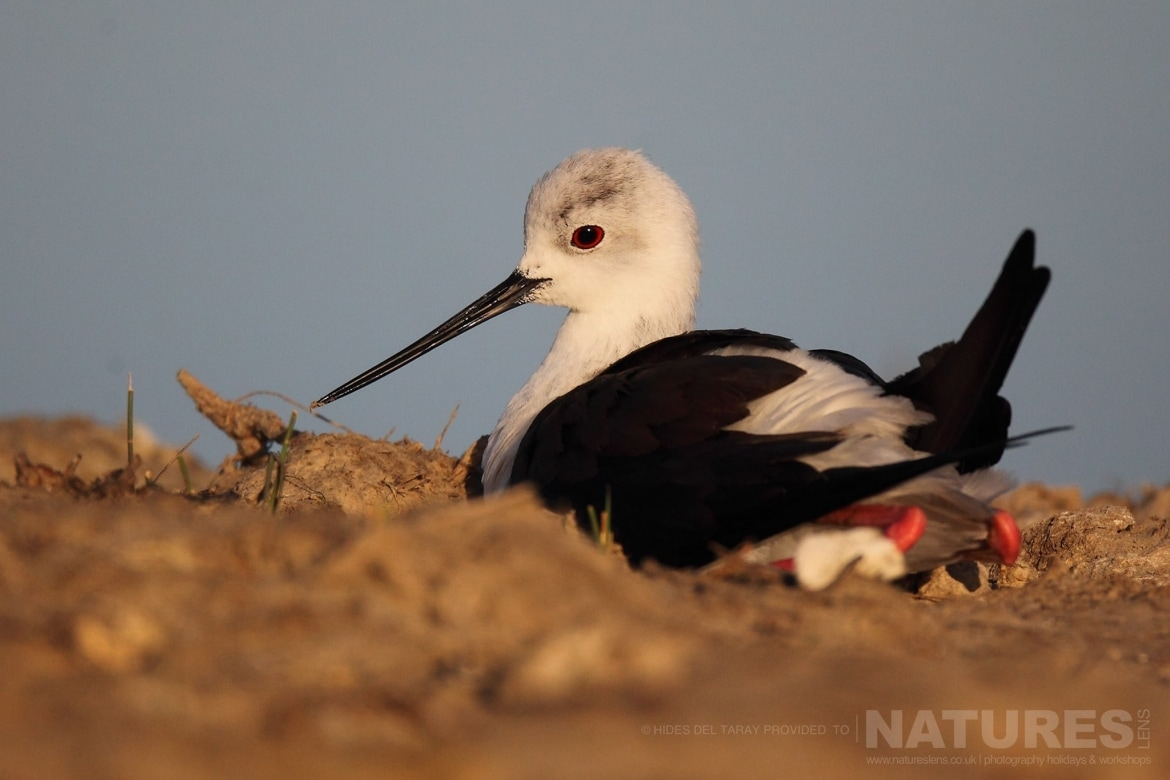One Of The Black Winged Stilts Resting By The Side Of A Sunken Hide   Photographed On The Estate Used For The NaturesLens Spanish Birds Of Toledo Photography Holiday
