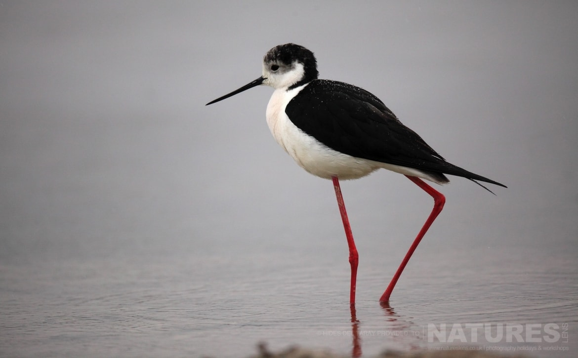 One Of The Black Winged Stilts In One Of The Pools Of The Laguna Photographed On The Estate Used For The NaturesLens Spanish Birds Of Toledo Photography Holiday