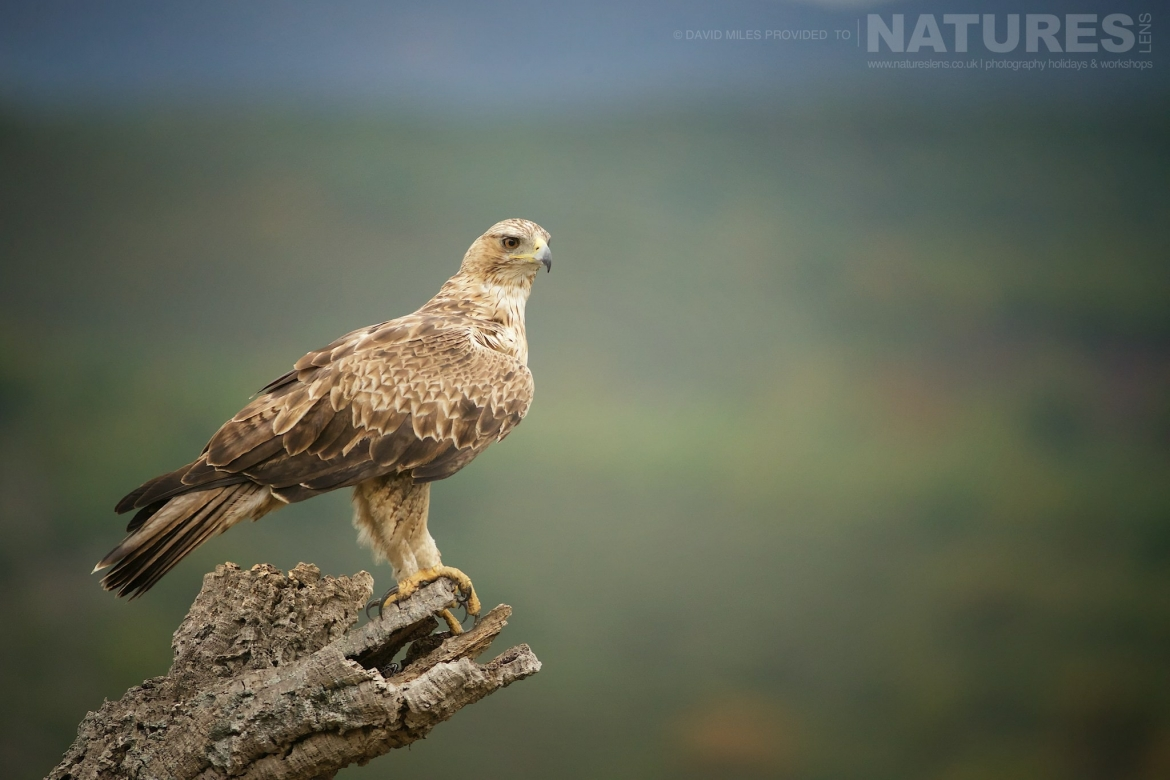 One Of The Bonelli's Eagles Perched In A Branch With The Estate Behind Photographed On The Estate Used For The NaturesLens Eagles Of Extremadura Photography Holiday