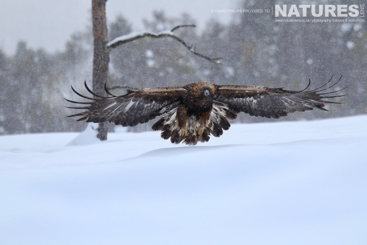 One Of The Golden Eagles Flies Above The Snow Image Captured During The NaturesLens Golden Eagles Of The Swedish Winter Photography Holiday