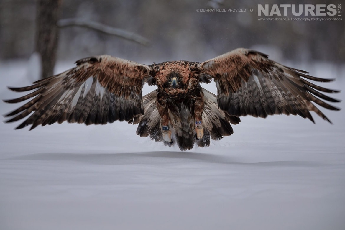 One Of The Golden Eagles Lands On The Snow, Head On To The Photographer   Image Captured During The NaturesLens Golden Eagles Of The Swedish Winter Photography Holiday