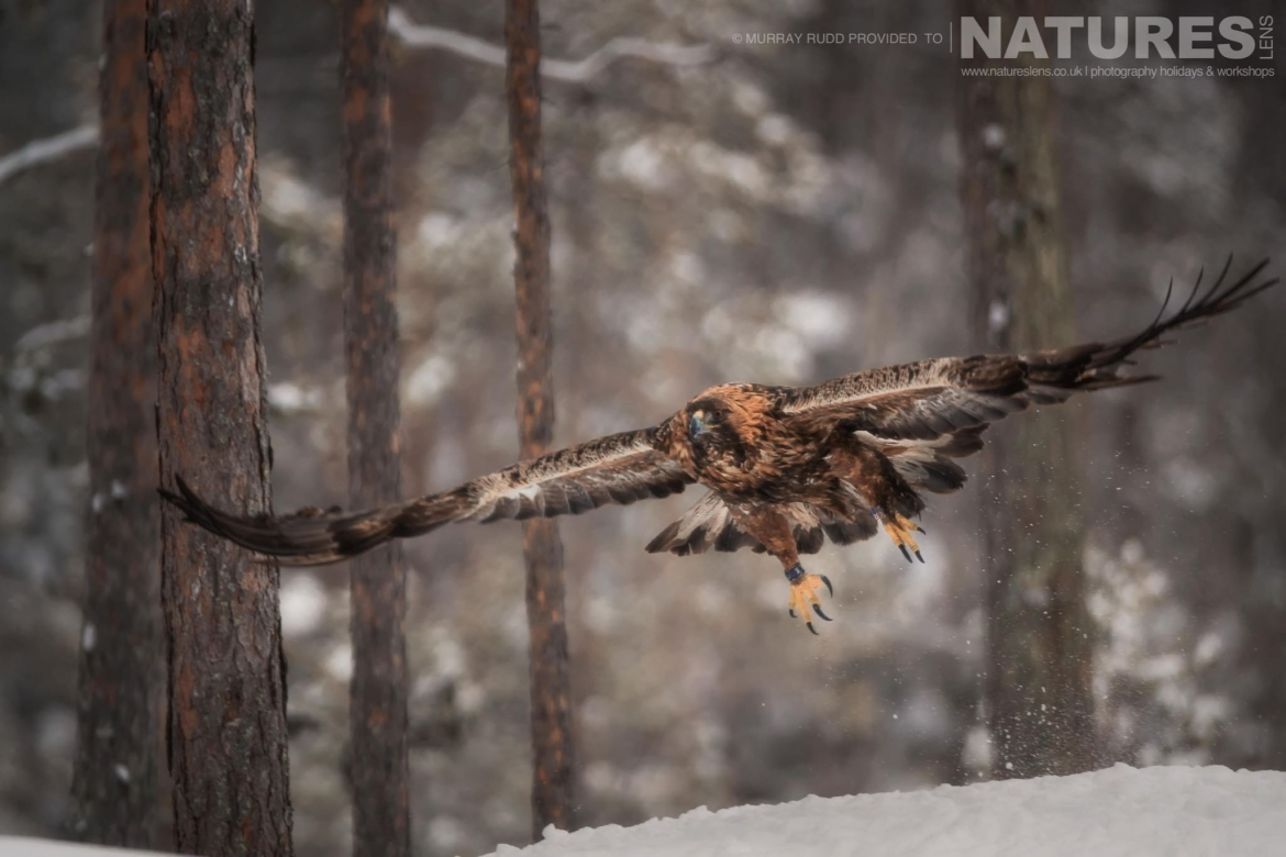One Of The Golden Eagles Soars Over The Snow   Image Captured During The NaturesLens Golden Eagles Of The Swedish Winter Photography Holiday