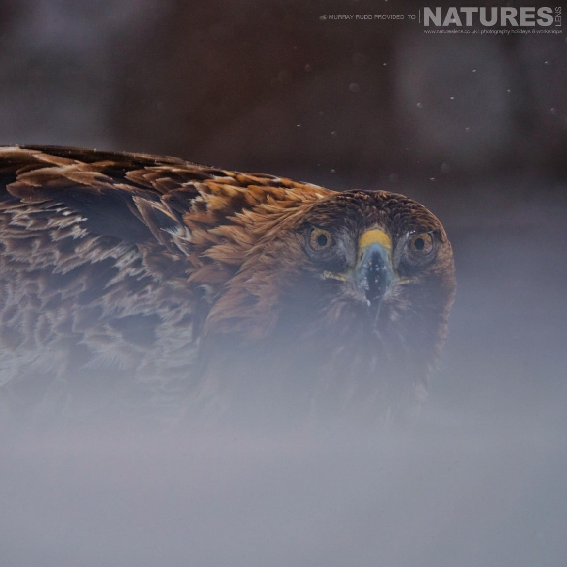 One Of The Golden Eagles Stares Directly At The Photographer   Image Captured During The NaturesLens Golden Eagles Of The Swedish Winter Photography Holiday