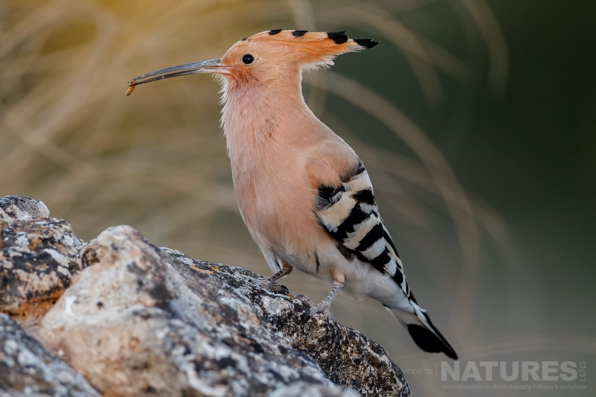 One Of The Hoopoe, Perched On A Rocky Outcrop, With A Fresh Caught Grub Photographed On The Estate Used For The NaturesLens Spanish Birds Of Toledo Photography Holiday