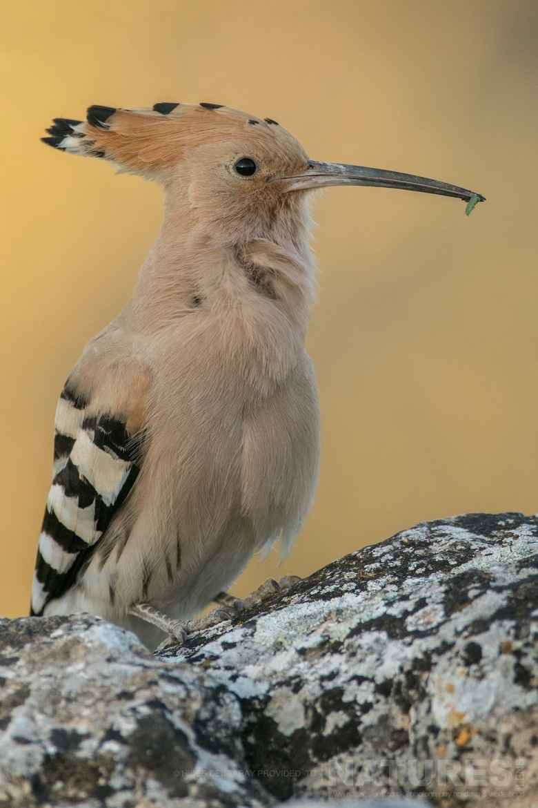 One Of The Hoopoes Found Within The Estate Photographed On The Estate Used For The NaturesLens Spanish Birds Of Toledo Photography Holiday