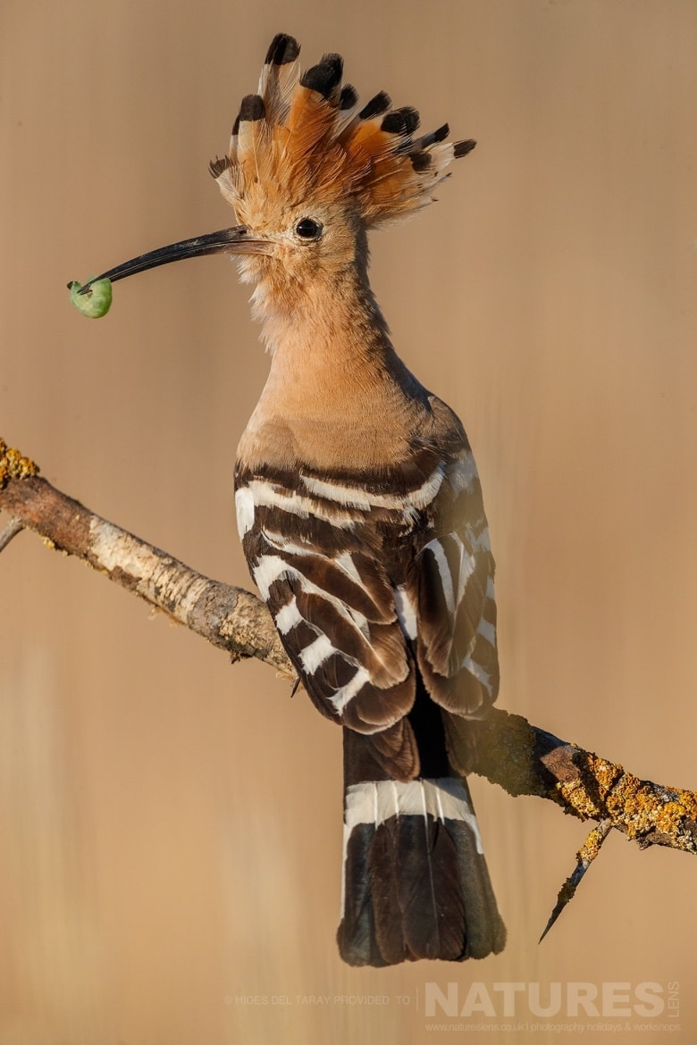 One Of The Hoopoes, Returns To The Nest Site With A Fresh Caught Grub Photographed On The Estate Used For The NaturesLens Spanish Birds Of Toledo Photography Holiday