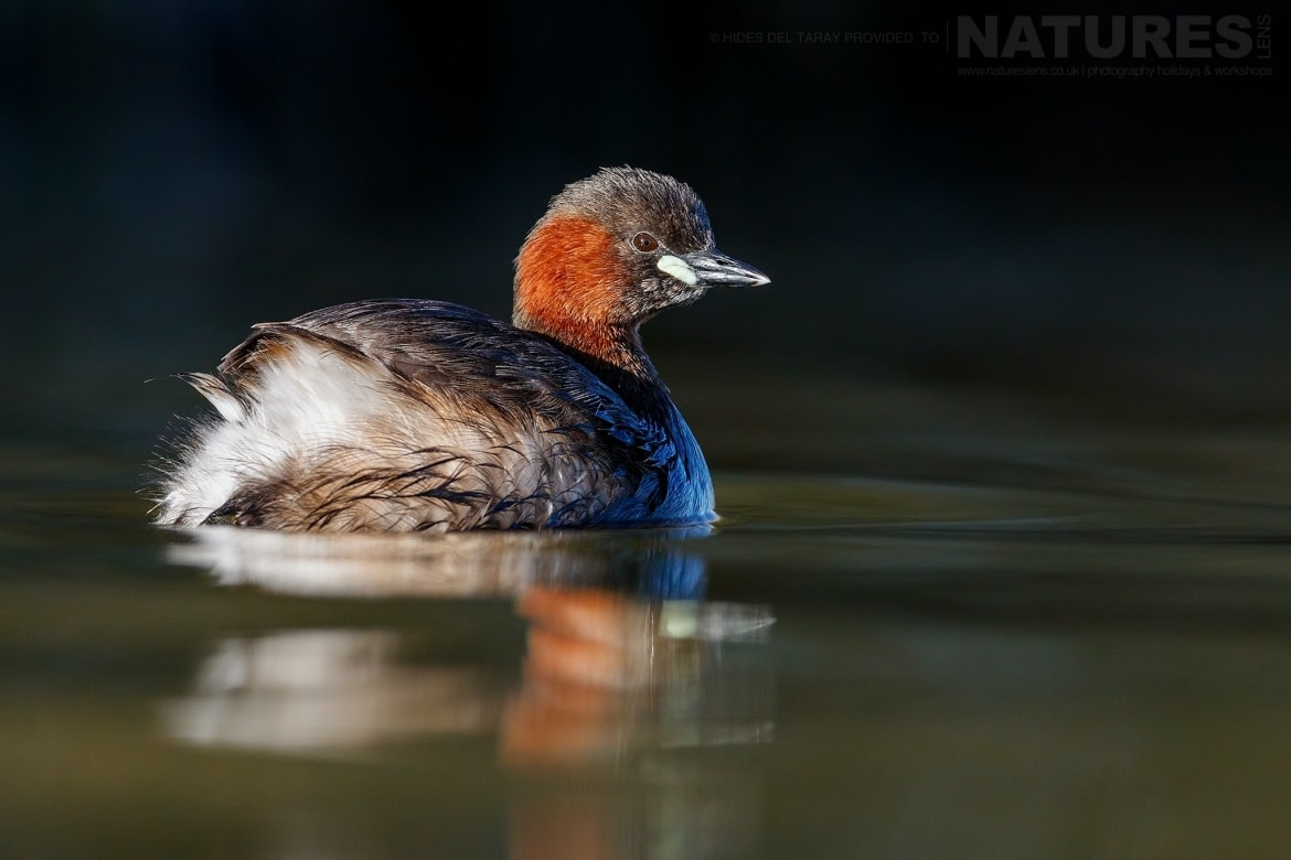 One Of The Little Grebes On The Still Waters Of Laguna Del Taray