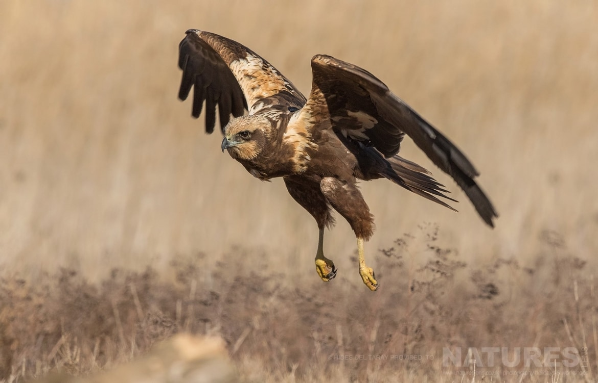 One Of The Marsh Harriers Comes In To Land In Front Of One Of The Hides   Photographed On The Estate Used For The NaturesLens Spanish Birds Of Toledo Photography Holiday