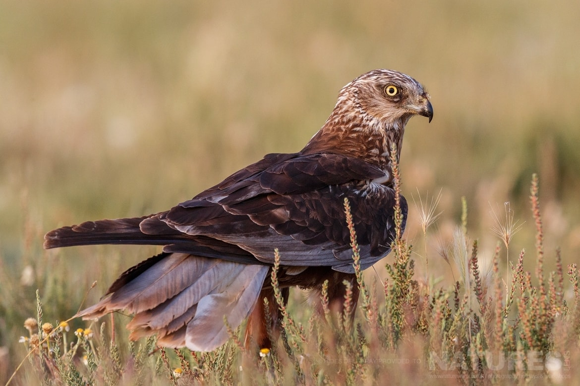One Of The Marsh Harriers In Front Of One Of The Hides Photographed On The Estate Used For The NaturesLens Spanish Birds Of Toledo Photography Holiday