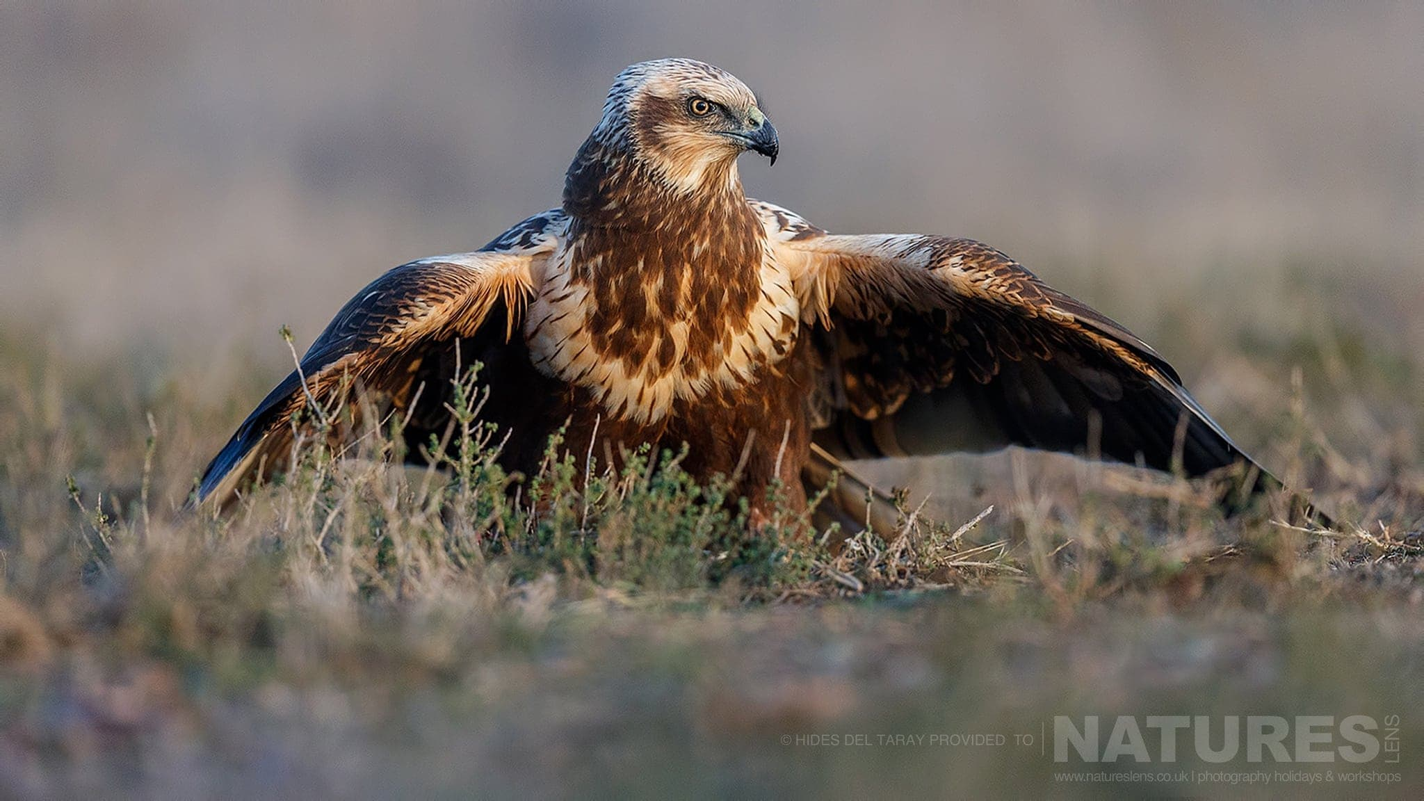 One Of The Marsh Harriers, Mantling Over Food, In Front Of One Of The Hides   Photographed On The Estate Used For The NaturesLens Spanish Birds Of Toledo Photography Holiday