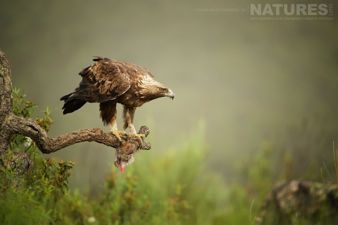 One Of The Amazing Golden Eagles Found At The Mountain Side Hide   Photographed On The Estate Used For The NaturesLens Eagles Of Extremadura Photography Holiday