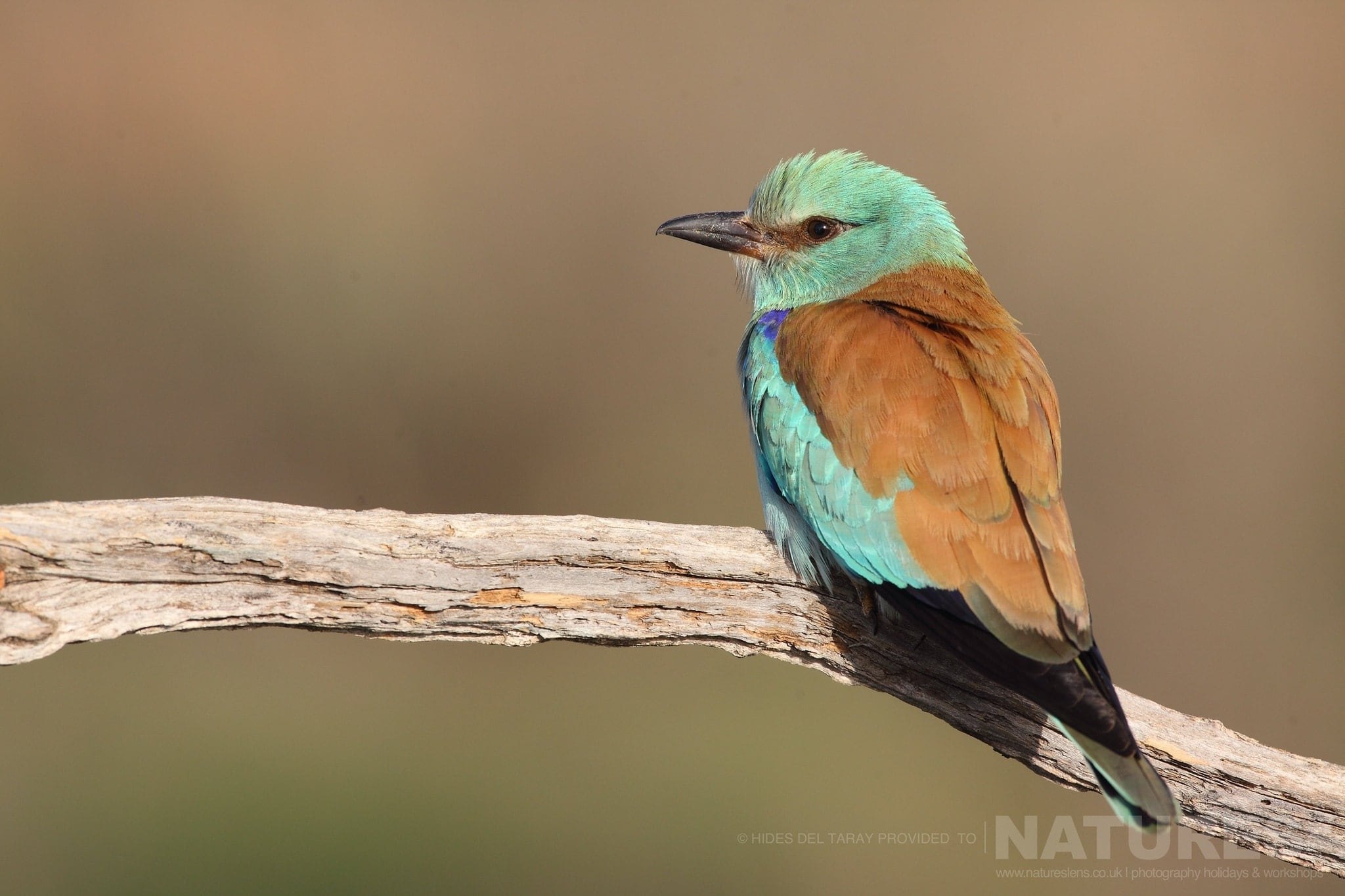 One Of The Colony Of European Rollers   Photographed On The Laguna Del Taray Estate Used For The NaturesLens Spanish Birds Of Toledo Photography Holiday
