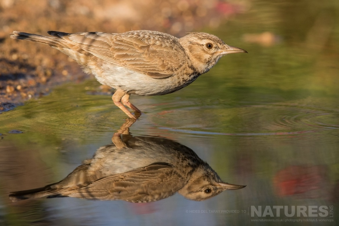 One Of The Estates Many Larks In A Drinking Pool   Photographed On The Estate Used For The NaturesLens Spanish Birds Of Toledo Photography Holiday